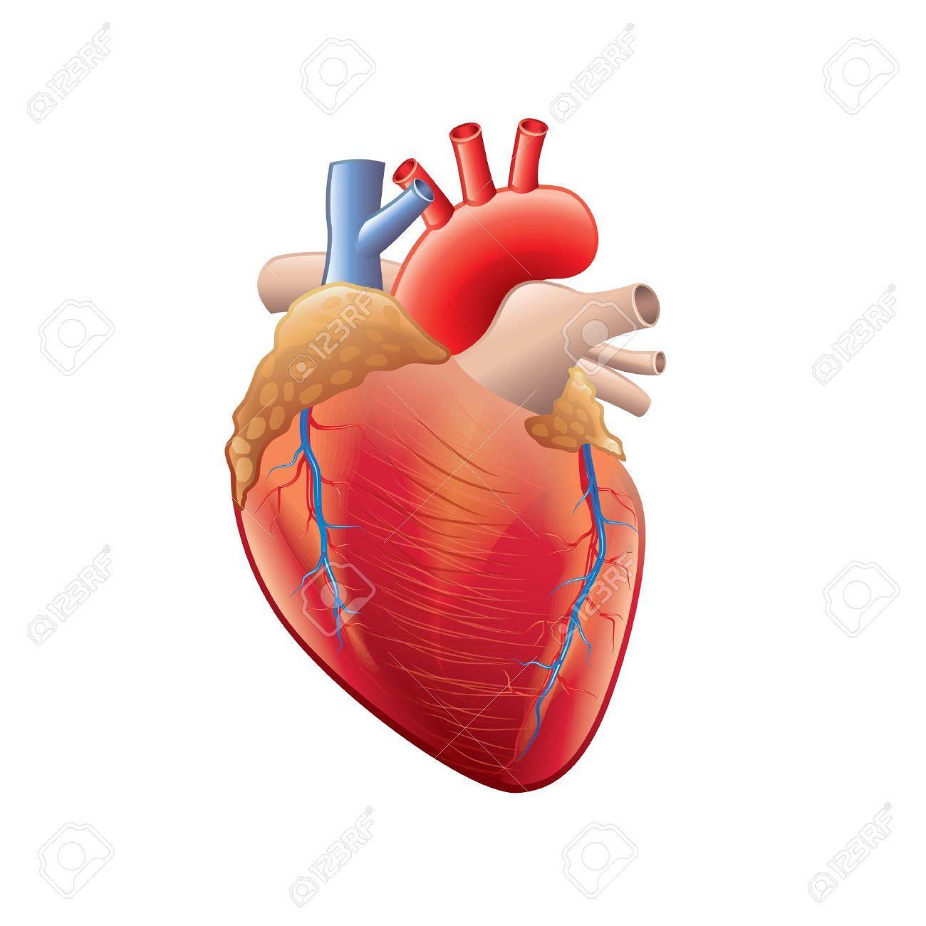 Resultat De Recherche D Images Pour Coeur Humain Human Heart Anatomy Human Heart Heart Anatomy