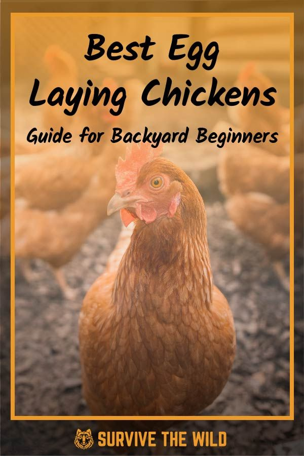 Best Egg Laying Chickens - 2020 Guide for Backyard ...