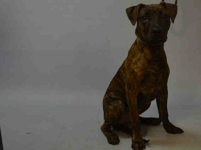 ★12/22/15 STILL THERE★QUINCY - A1060391 - Urgent Brooklyn - MALE BROWN/BLACK PLOTT HOUND MIX, 7 Mos - STRAY - NO HOLD Intake 12/12/15 Due Out 12/15/15