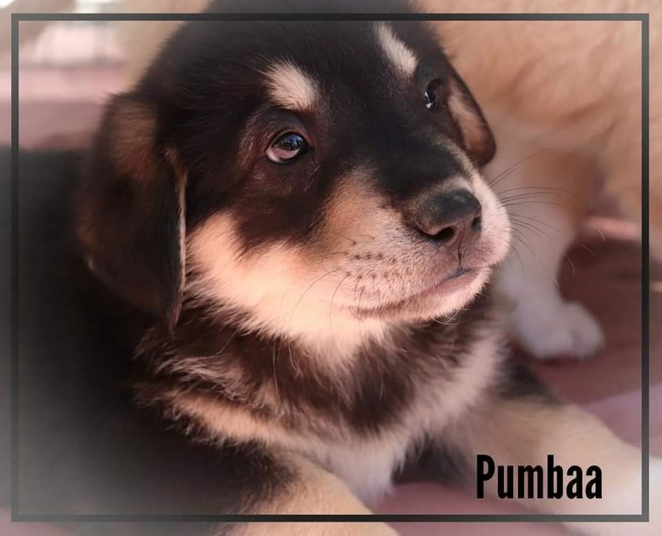 Adopt Puppy Pumbaa On Puppies Labrador Retriever Mix Labrador Retriever