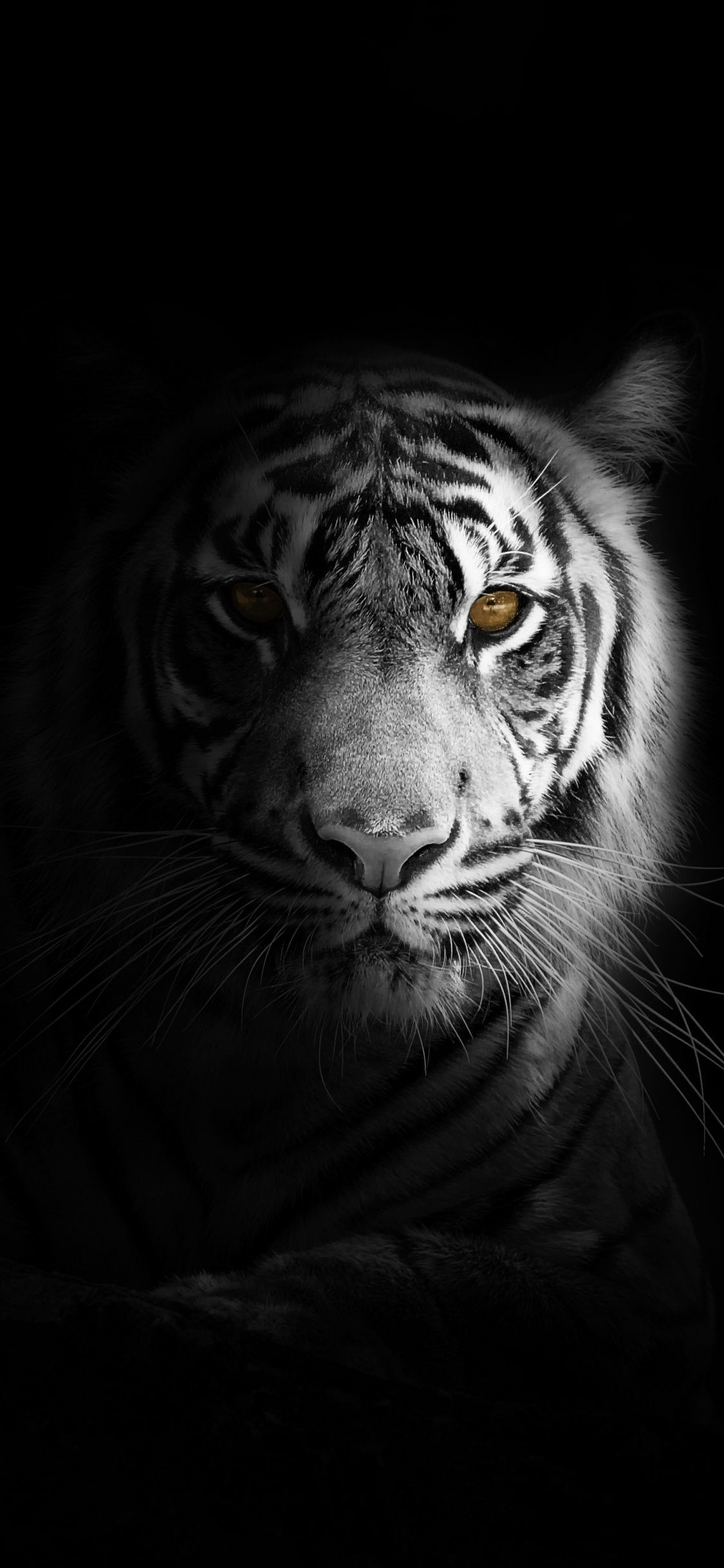 White Tiger Wallpaper For Android Phone Tiger Wallpaper Tiger Photography Tiger Wallpaper Iphone