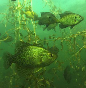 School of crappie underwater hunting fishing for Crappie fish facts