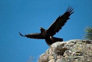 """""""Los que confían en el Señor renovarán sus fuerzas; volarán como las águilas; no se cansarán ni se fatigarán.""""     Yeshayahu/Isaías 40:31"""