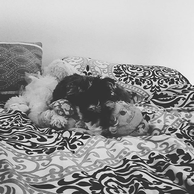 My perfect little angel is finally getting comfy in her new home.  #truelove #dogsofinstagram #schnauzer #atx #lbloggers #liveauthentic