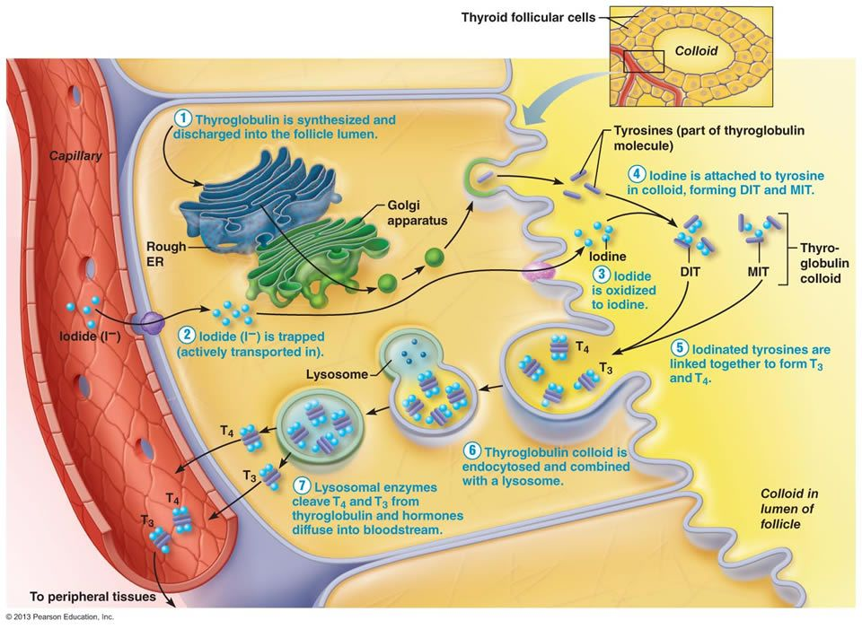 Thyroid Hormone Consists Of Two Amine Hormones Thyroxine T4 And Triiodothyronine T3 That Act On All Body Cells