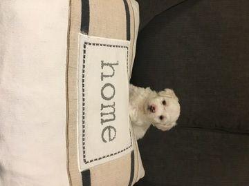 Bichon Frise puppy for sale in SEATTLE, WA. ADN-69733 on ...