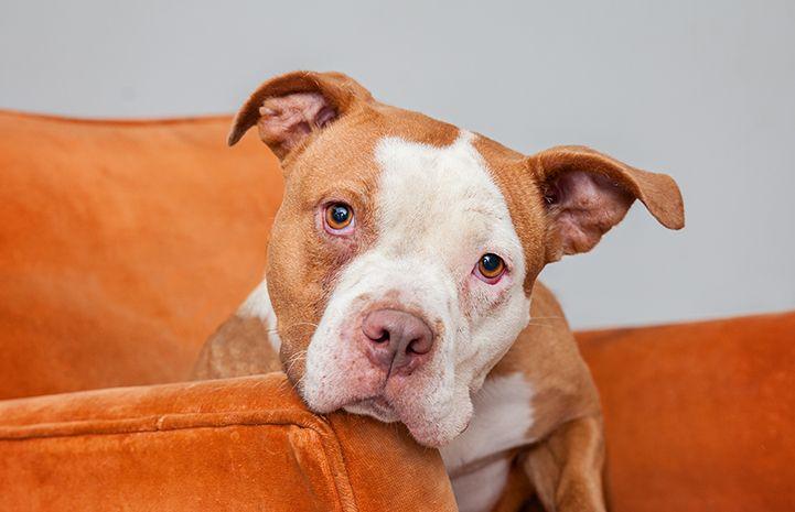 Volunteers Use Creativity To Save Dogs Lives Dog Adoption Pitbull Dog Pet Adoption