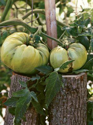 Monster tomato tidwell german