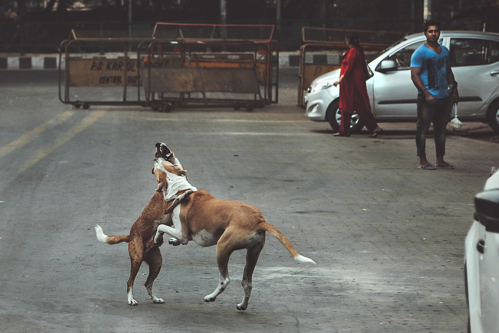 Street fight - Tow dogs fighting in Delhi city - India