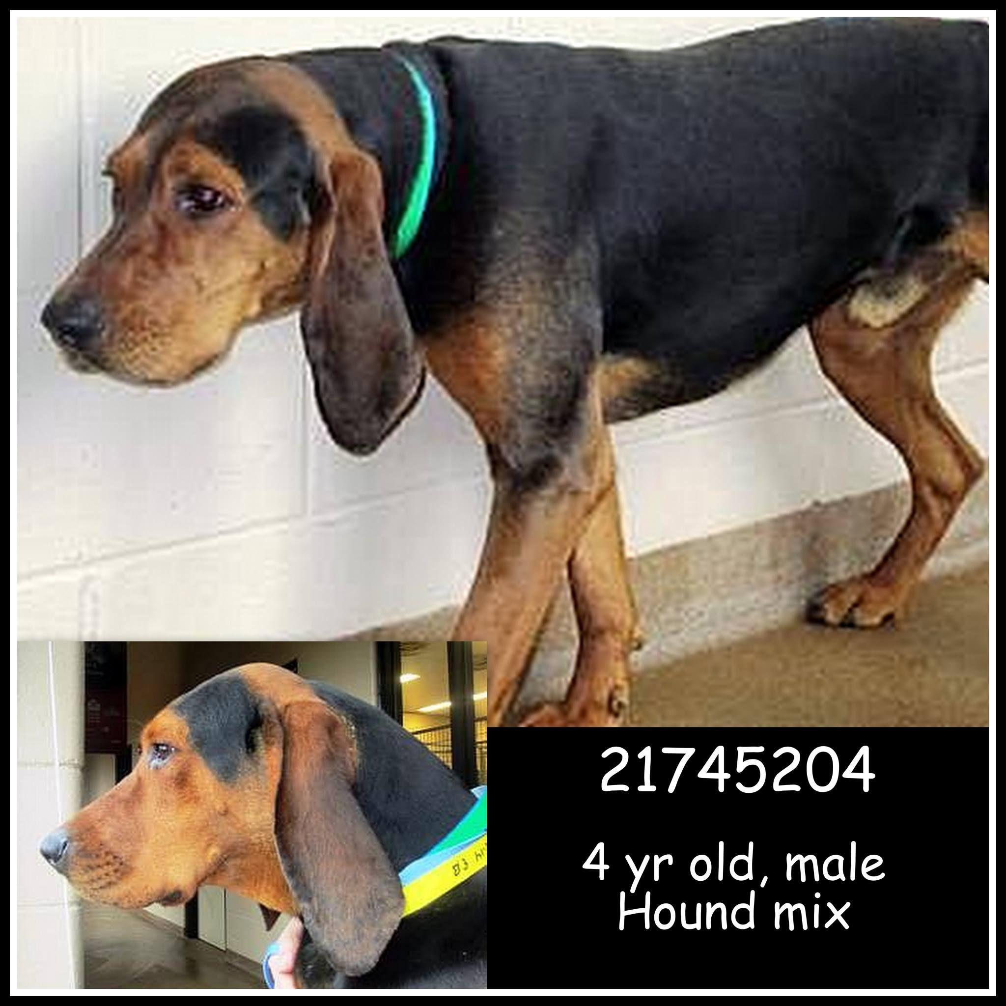 Black & Tan Coonhound M 4 years 21745204 in Gainesville