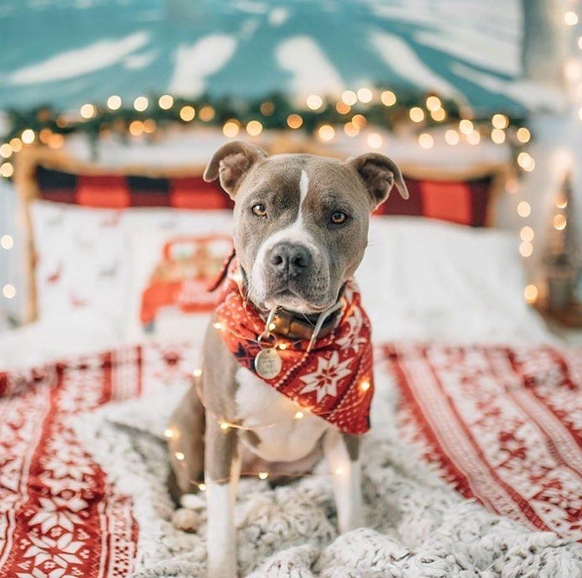 It's hard to believe Christmas is just around the corner!  Have you put up your ... #bulliesofinsta #Christmas #christmasdecor #christmasdecorations #christmasdog #christmaslights #christmaspup