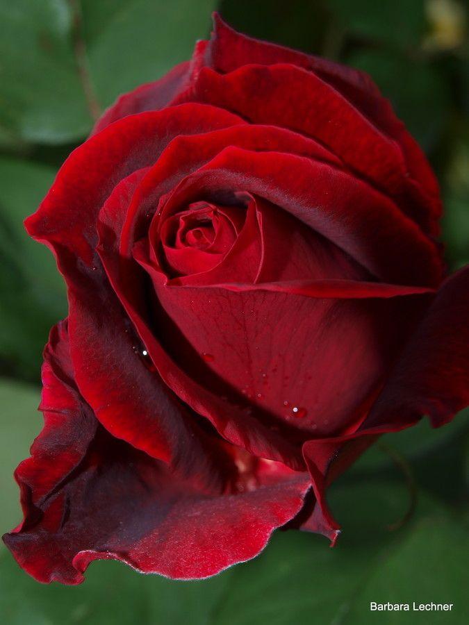 'Erotica' rose