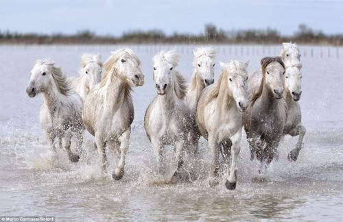 Wild horses in Camargue, France