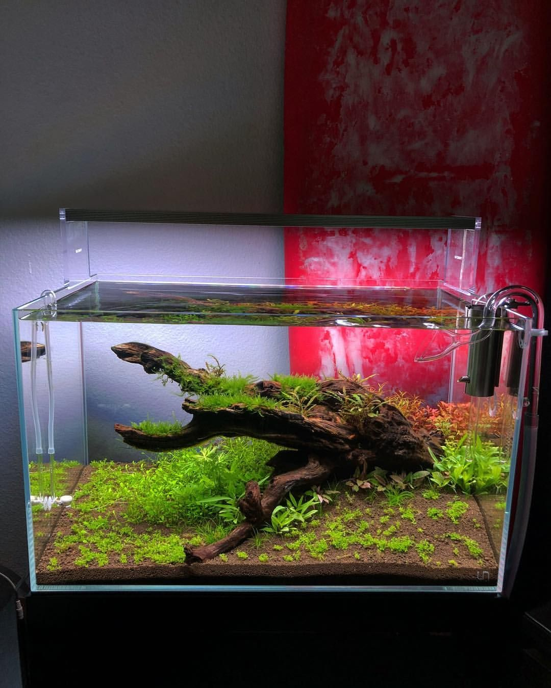 Despite The Small Gha I Ve Been Dealing With This Tank Is Chugging Along All Plants Are Tissue Culture And Pacif Aquascape Aquarium All Plants Aquatic Plants