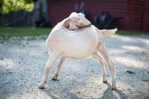 Zack Smith Photography North Carolina Brevard School of Music Center Goat animal…