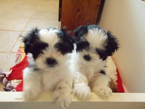 Havashu- (Havanese/Shih-tzu) Male Puppies - 9 1/2 weeks