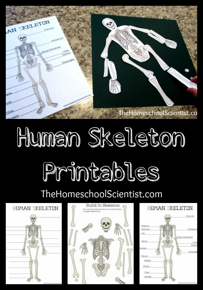 Human Skeleton Printables Anatomy And Physiology Activities