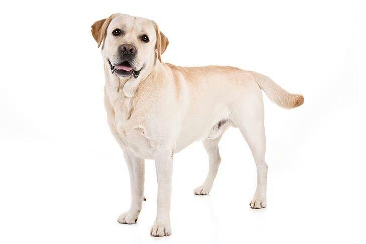 Pin By Jessica B Brown On Dogs Labrador Retriever Friendly Dog