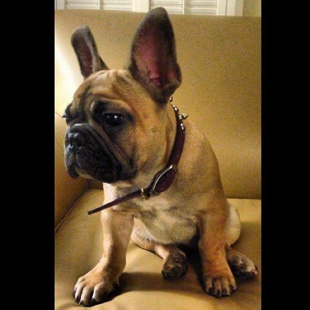 Aljhs Photo Oliver Frenchie Frenchbulldog Puppiesofinstagram Dogsofinstagram Bully Puppy Squishface Animais