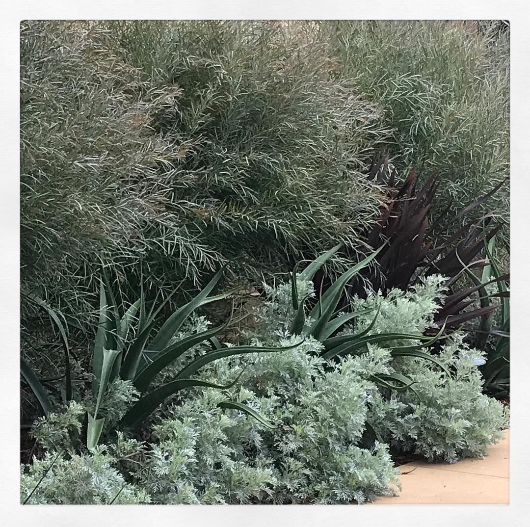 Grey Gardens Floragrubb Droughttolerant Acacia Iteaphylla Plants