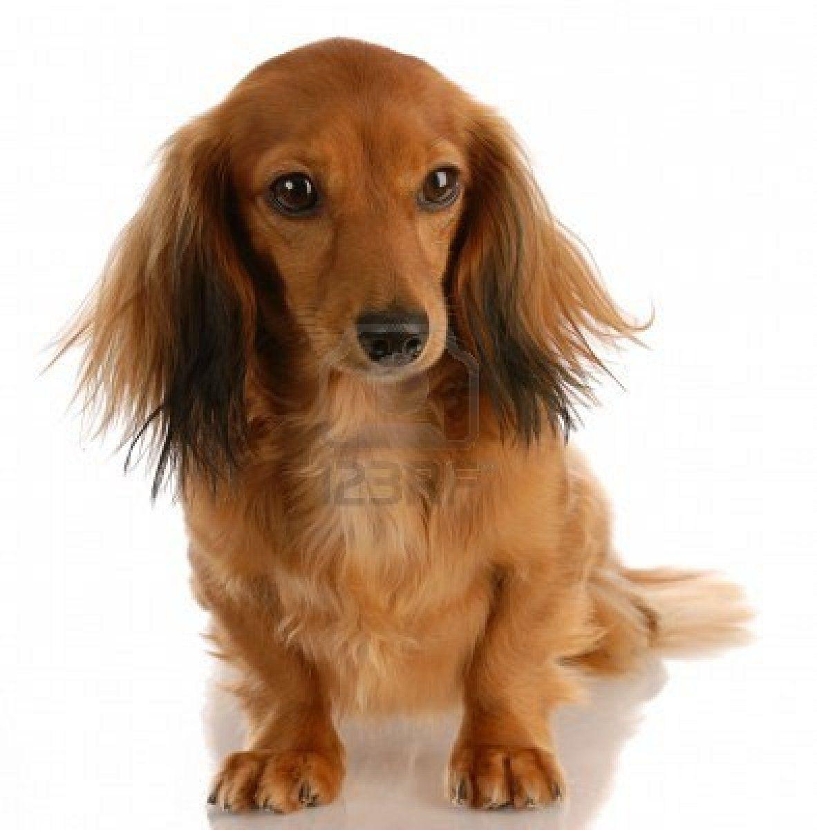 Stock Photo Long Haired Dachshund Dachshund Puppy Long Haired Dachshund