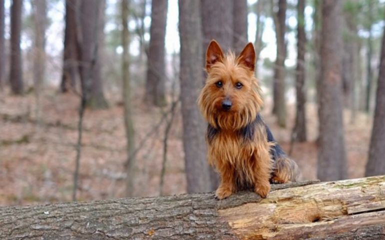 10 things ONLY an Australian Terrier owner will understand.