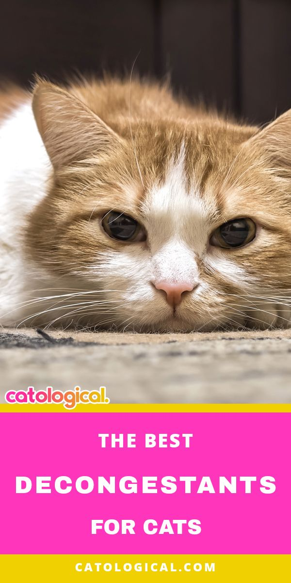 The Best Decongestants for Cats Cat sneezing remedies