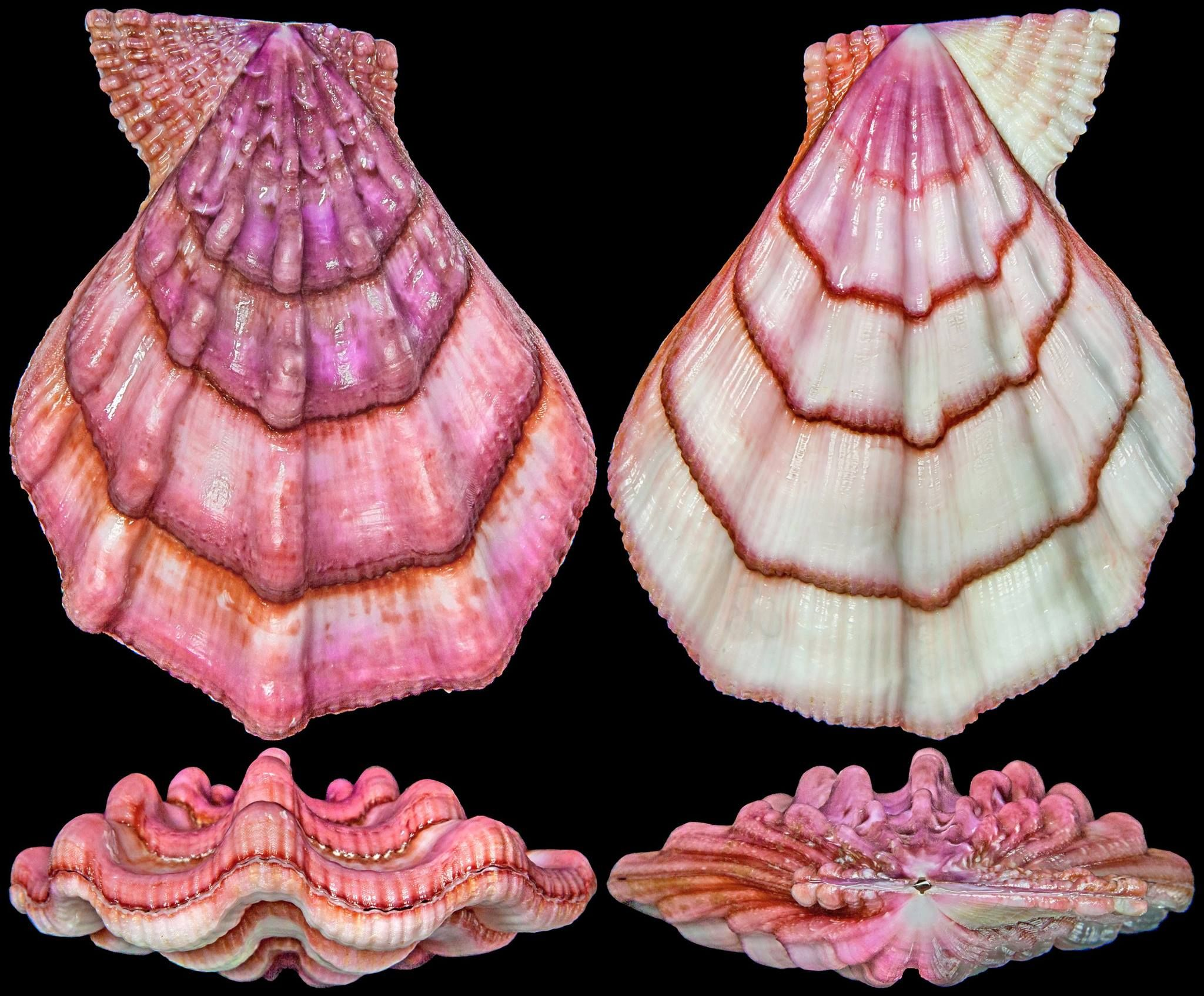 """Chong ChenSeashell Collectors Swiftopecten swiftii (Bernardi, 1858) PECTINIDAE -50m, Trawled on mud and seaweed bottom, Japan Sea, Japan, 103.9mm, F++, 2014/viii The """"Swift's Scallop"""" is a colourful and attractive medium-large pectinid distributed from Japan Sea to northeast Japan to Sakhalin, Russia."""