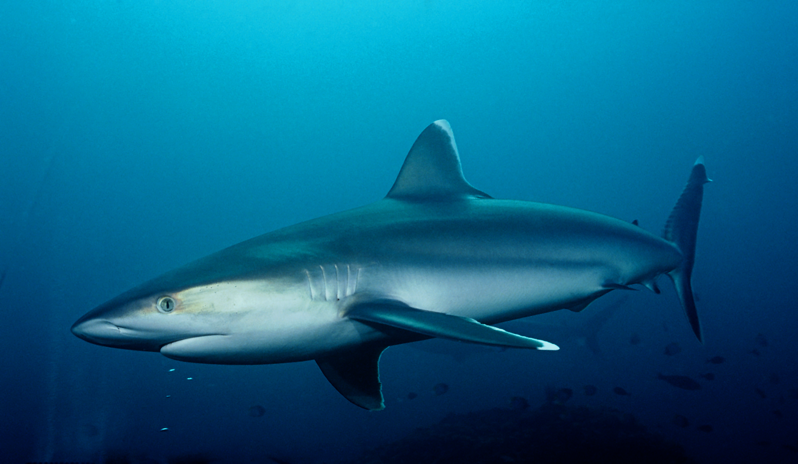 silvertip_shark2.jpg