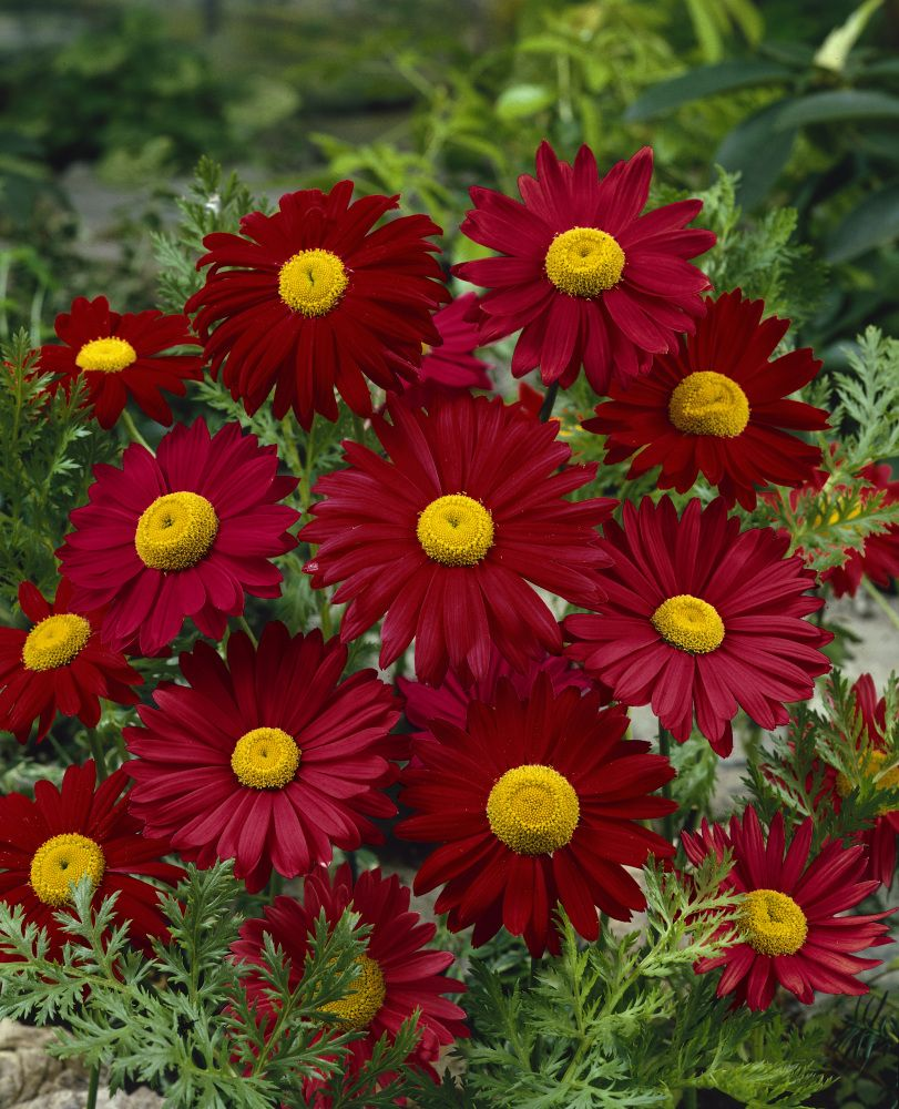 Tanacetum Coccineum Robinson S Red Daisy Painting Annual Plants Planting Flowers