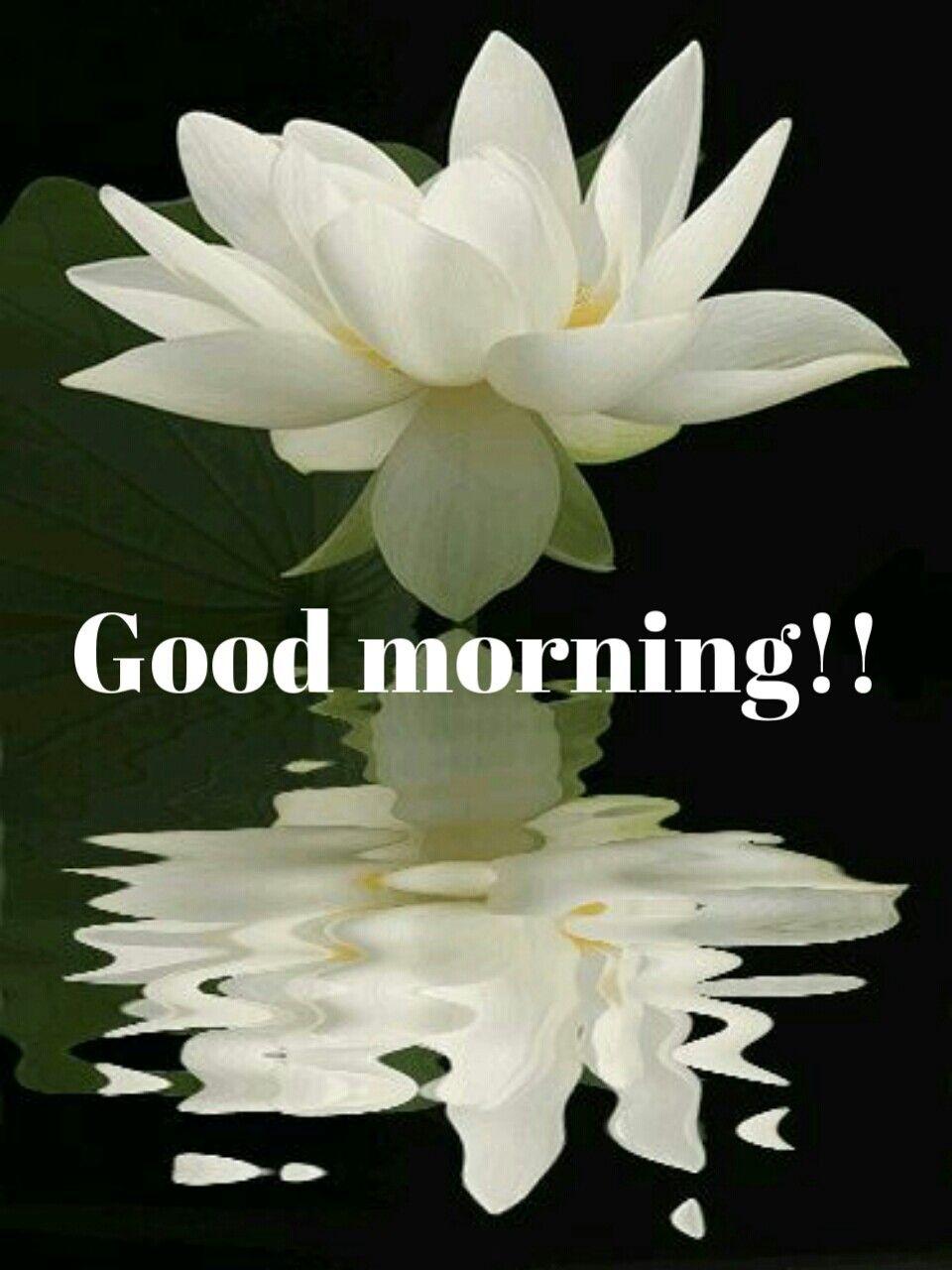 Good morning good morning pinterest flowers beautiful lotus flowers lotus blossoms pretty flowers white lotus flower izmirmasajfo