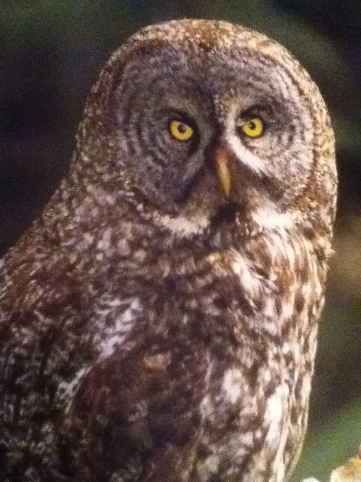 They call Great Gray owls 'phantoms of the night' for a ...