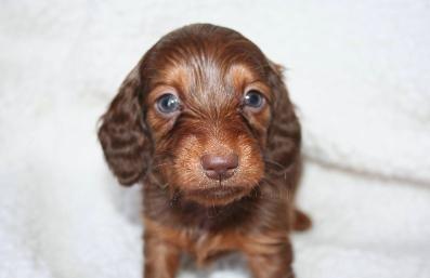Mini Doxie S Mojo Kennels Laurens Ny Dachshund Puppies