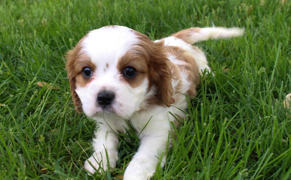 Eva Female Akc Cavalier King Charles Spaniel Puppy For Sale