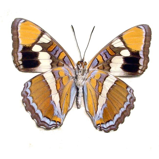 North American Butterflies Moths Real Butterfly Gifts Real