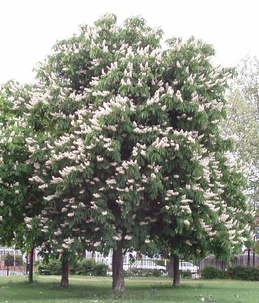 Horse Chestnut Zone 3 Large Shade Tree White Candle Flowers In Spring Inedible Prickly Seed Pod Horse Chestnut Trees Chestnut Trees Chestnut Flower