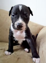 Helios is an adoptable American Bulldog Dog in Colleyville, TX. As a promise to Renny, I will be aiding in find responsible forever homes for all the puppies. They American Bulldog/American Pitbull Te...