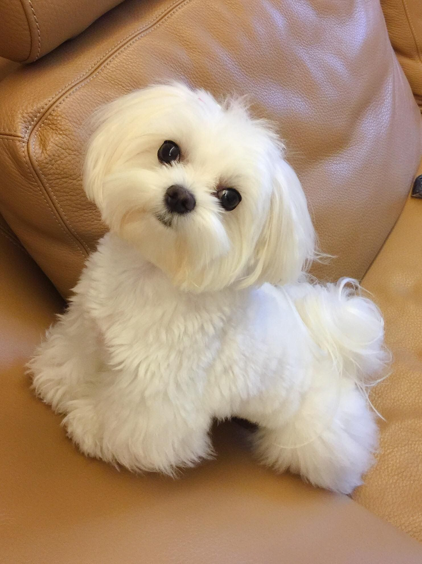 Send Me This Maltese Please Maltese Teacup Puppies Maltese