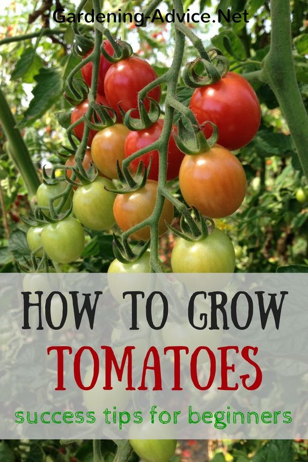 Tomato Growing Tips For Beginners Growing Tomatoes 400 x 300
