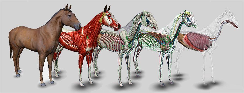 3D Horse Anatomy Software | Equine Is Fine | Pinterest | Horse ...