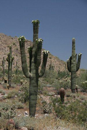 Havesting the fruit of the Saguaro in Arizona