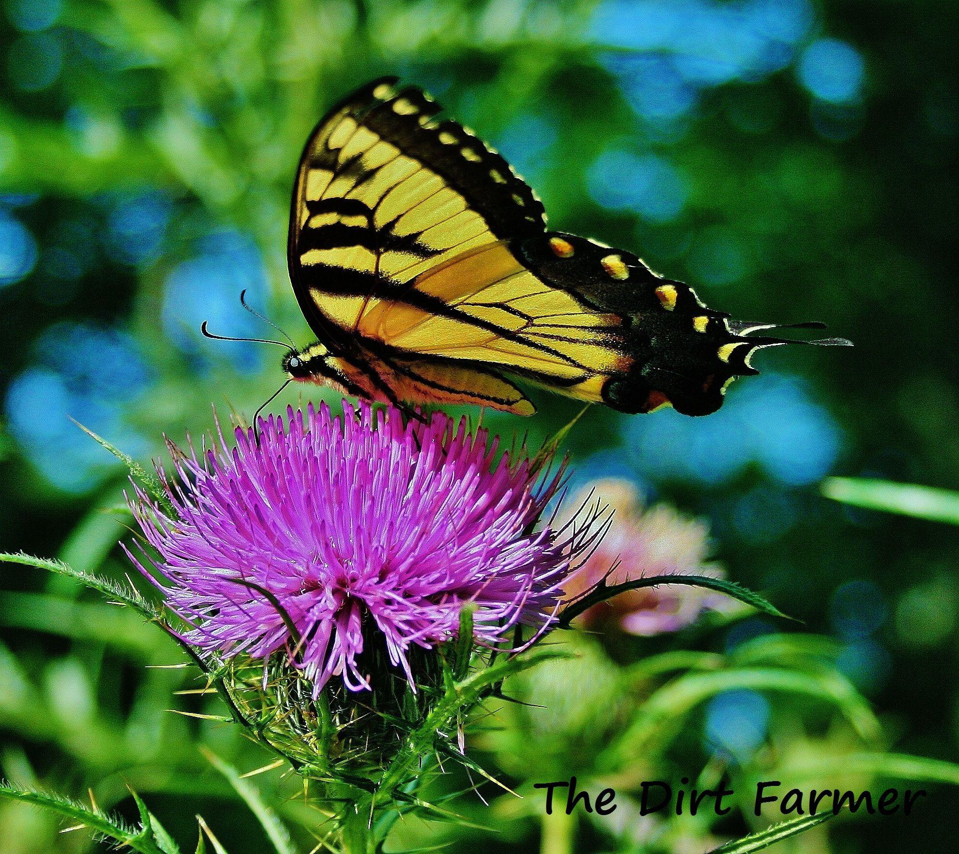 Butterflies n thistleso pretty seed saving saving