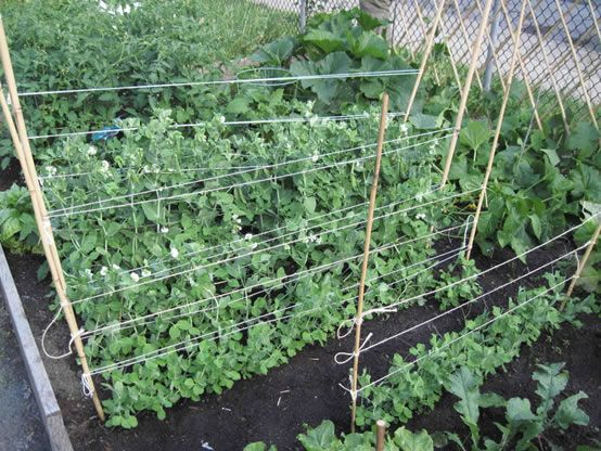 Pole Bean Supports How To Stake Up Pole Beans Growing Beans Growing Green Beans Pole Beans