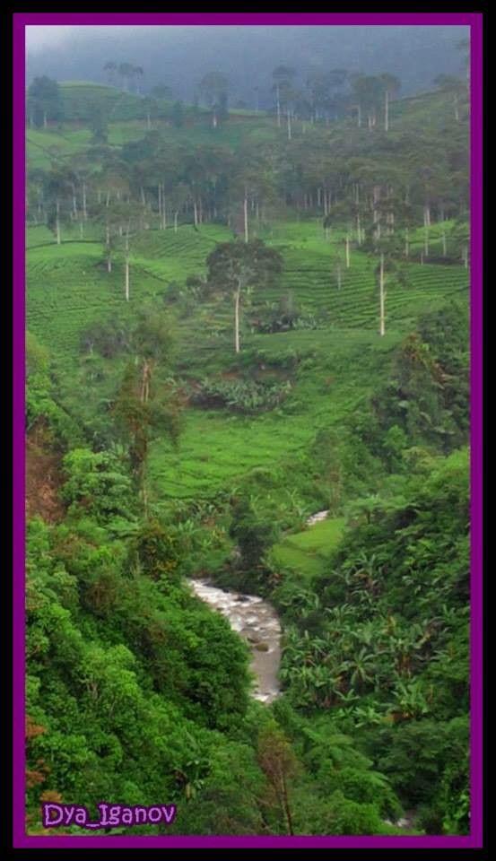 Sungai Cibuni, Perkebunan teh Sinumbra, Desa Ciherang ...