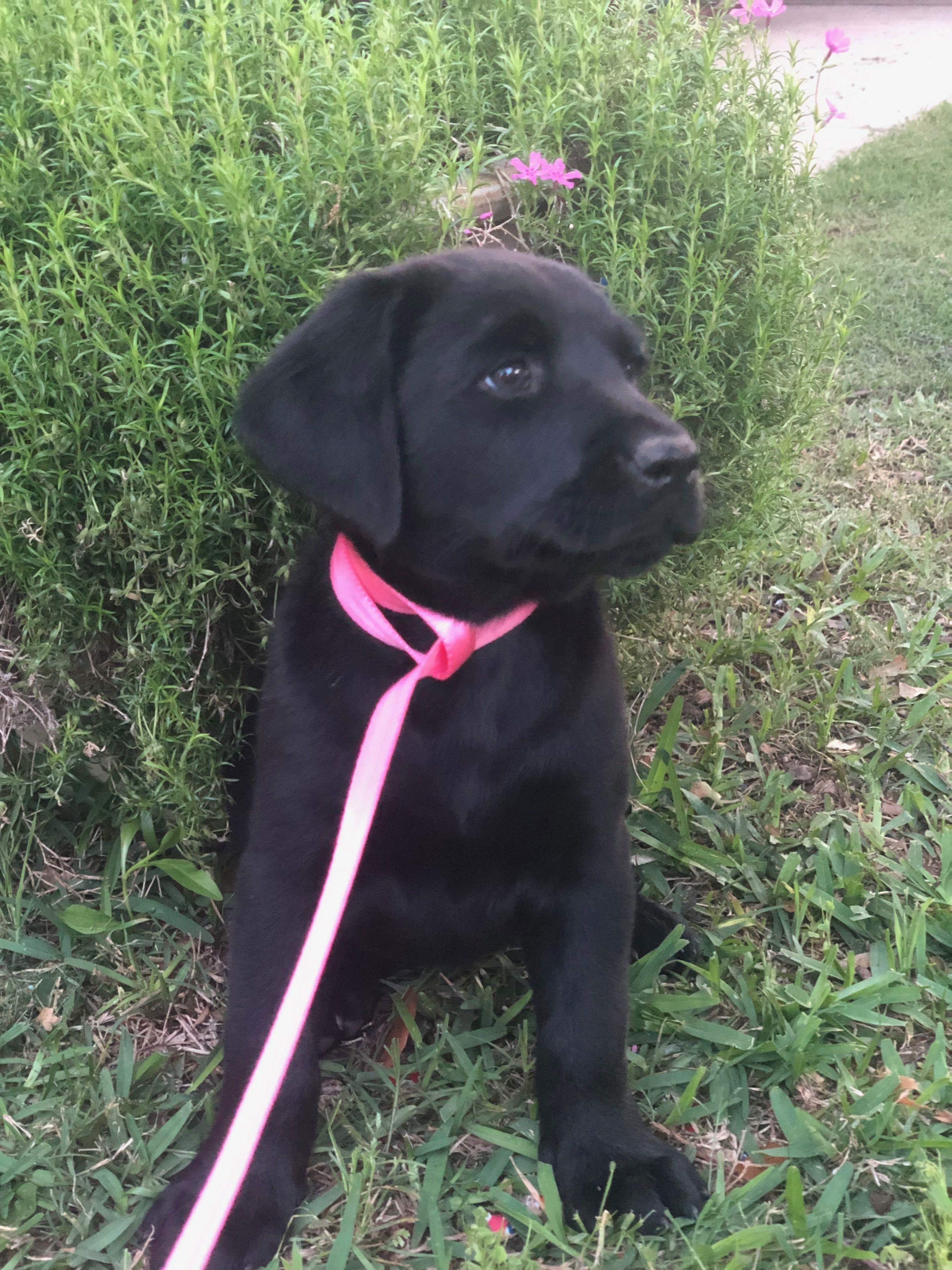 Adopt Cute on Labrador retriever, Chocolate