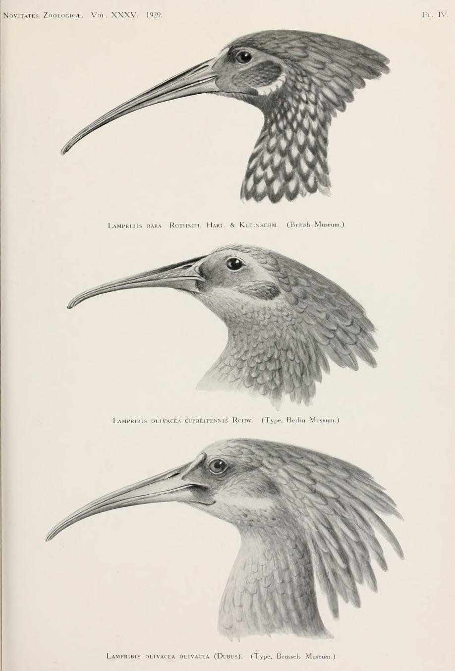 v. 35 (1929-30) - Novitates Zoologicae. - Biodiversity Heritage Library