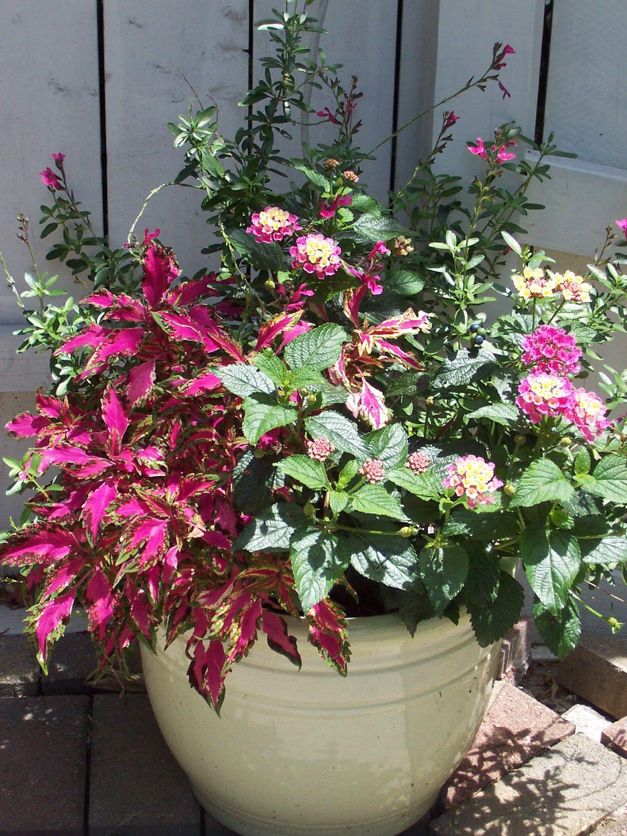 Spring Plants · Lantana, Salvia, Coleus. Simple Design. Container ...