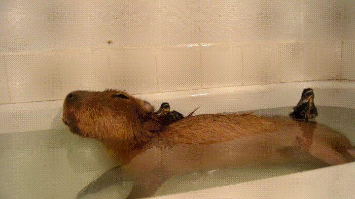 Capybara sleeping in a warm bathtub with baby ducks. http://ift.tt ...