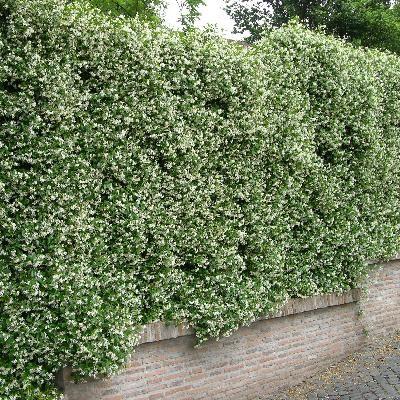 trachelospermum jasminoides 1 plantes mur pinterest meilleures id es gravier clematite et. Black Bedroom Furniture Sets. Home Design Ideas