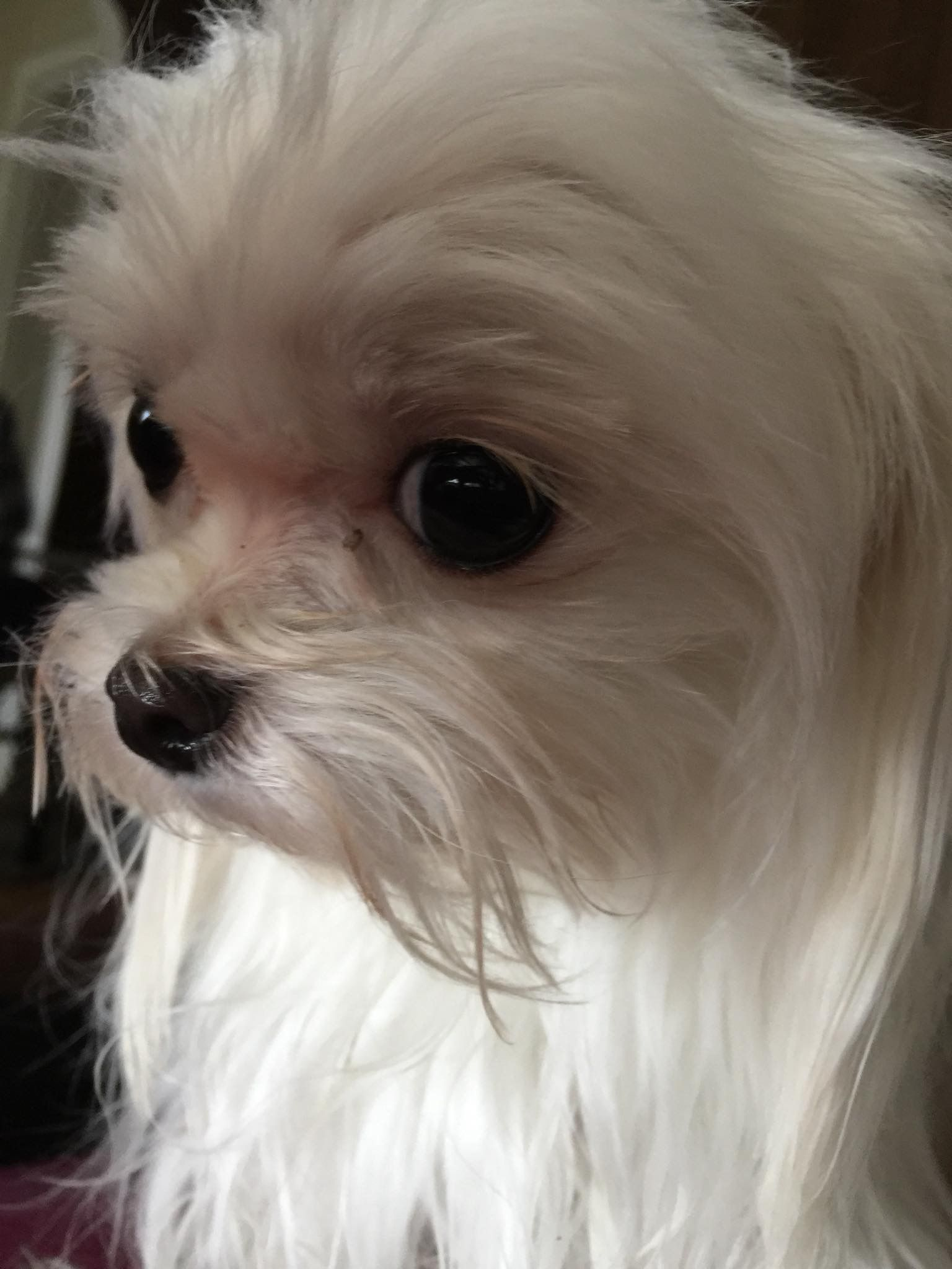 ️ adorable (With images) Teacup puppies maltese, Pets